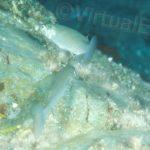 Cefalo o Muggine (Mugil cephalus Linnaeus) - famiglia Mugilidae