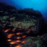 Re di Triglie o pesce Cardinale (Apogon Imberbis) - famiglia Apogonidae