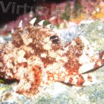 Scorfano rosso (Scorpaena scrofa) - famiglia Scorpaenidae