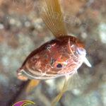Tordo Codanera - famiglia Labridae