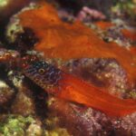 Bavosa Rossa - Peperoncino (Lipophrys nigiceps)